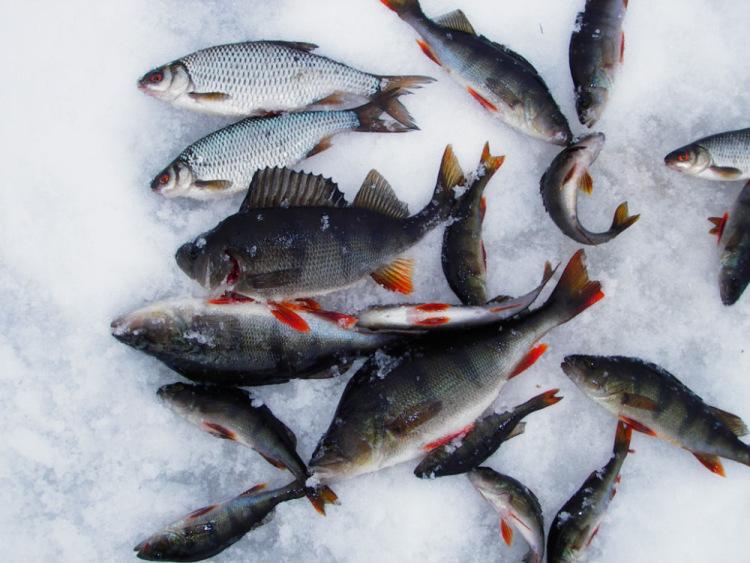 какая рыба клюет в онеге