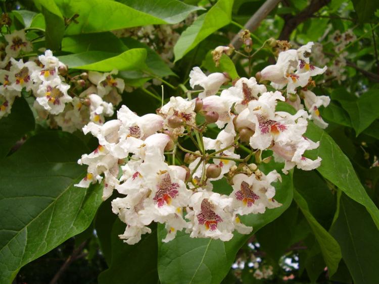 Цветы платана и его