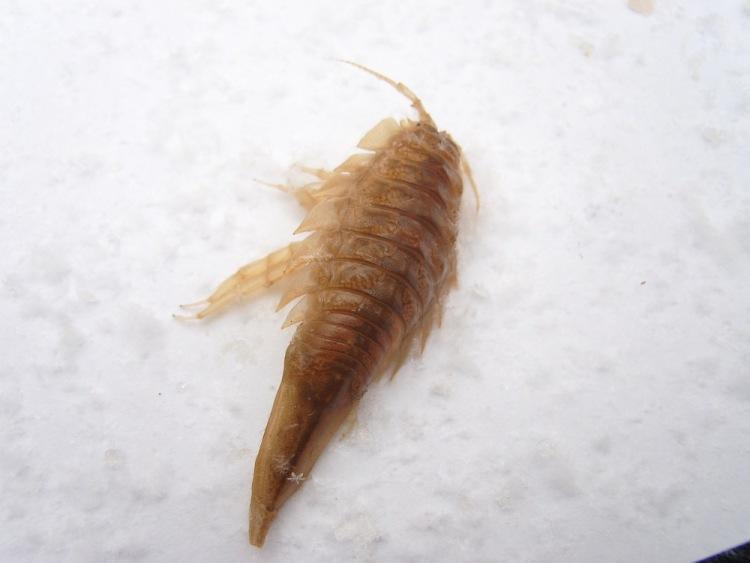 как ловят морских тараканов