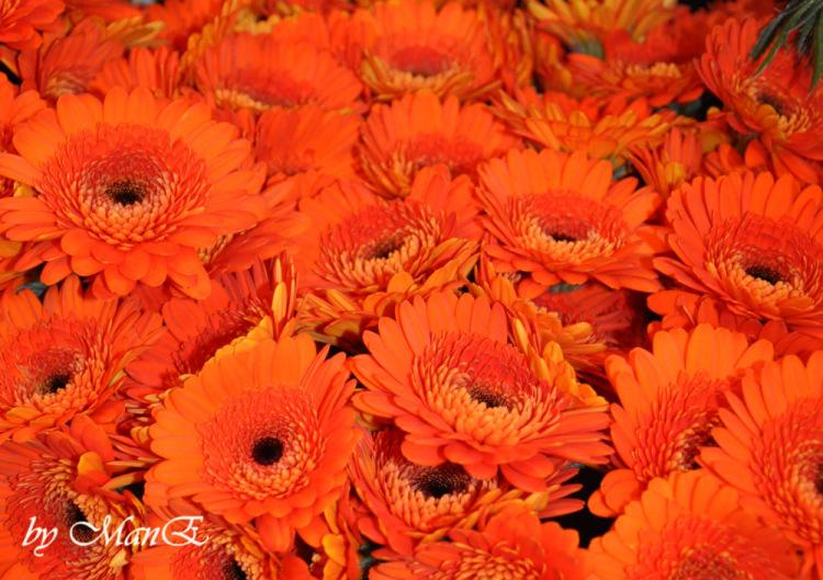 Манушак цветы